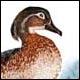 Canard branchu (huppé) femelle - Ivankovic, Ljubomir
