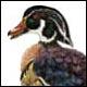 Canard branchu (hupp&eacute), mâle - Ivankovic, Ljubomir